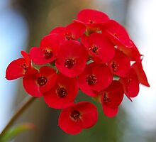 Euphorbia Milii by LeJour