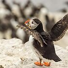 Puffin With Sand Eels by Roger Hall