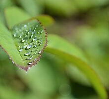 Drops on a leaf by mayolover