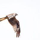 Red Kite by wendywoo1972