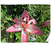 lovely pink lilly among the roses Poster