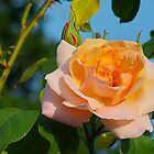 Orange Rose by relayer51