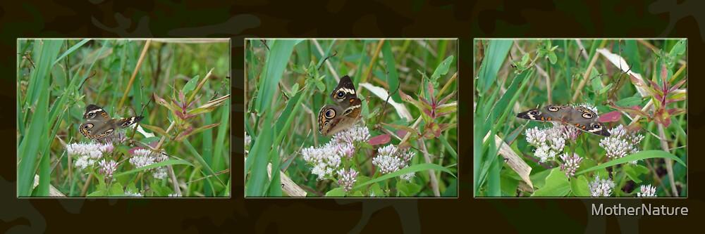 Common Buckeye Butterfly - Junonia coenia by MotherNature