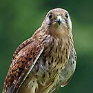 Common Kestrel by JenniferLouise