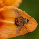 tachinidae - parastic fly by Manon Boily