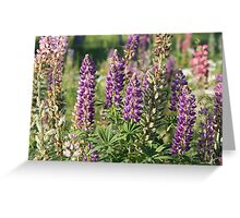Lupinus Greeting Card