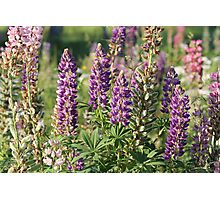 Lupinus Photographic Print