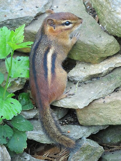 Thomas the Chipmunk by Ron Russell