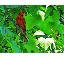 Catalpa Tree Cardnal Photographic Print