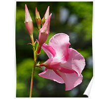 Pink and White Hybrid Hibiscus Poster