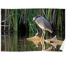 Snack time for a Night-Heron Poster