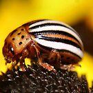 Colorado Potato Beetle by Sheri Nye