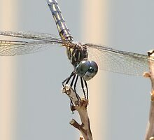 Dragon Fly by brendalynn52