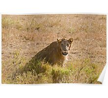 Young male lion Poster