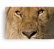 Lion close up Canvas Print
