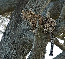 Young leopard by Valerija S.  Vlasov