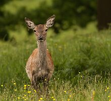 Doe a deer  by LouiseGroom