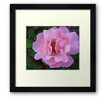 Governor Generals Roses #22 Framed Print