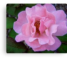 Governor Generals Roses #22 Canvas Print