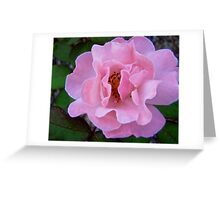 Governor Generals Roses #22 Greeting Card
