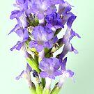 English Lavender  by Steve