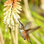 Rufous Hummingbird iPad Case by Diana Graves Photography