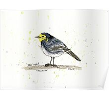 Pied Wagtail Poster
