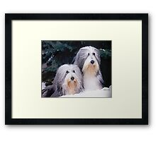 Bearded Collie Dog Portrait Framed Print