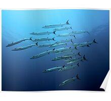 Barracudas Poster