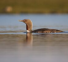 Red-throated diver (Gavia stellata) by Gabor Pozsgai