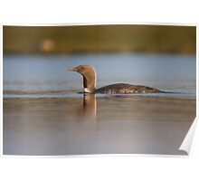 Red-throated diver (Gavia stellata) Poster