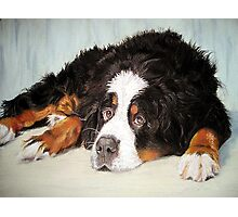 Bernese Mountain Dog Portrait Photographic Print