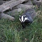 Badger leaving its sett by GrahamCSmith