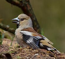 Grumpy Hawfinch by Peter Wiggerman