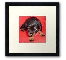 Young Rottweiler Puppy On A Red Background Framed Print