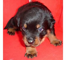 Young Rottweiler Puppy On A Red Background Photographic Print