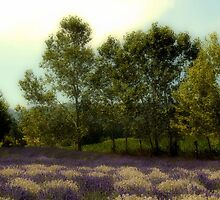 Lavender Field by SuddenJim