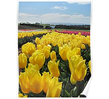 Table Cape Tulips 2 Poster