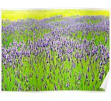 Lavender Field 1 Poster