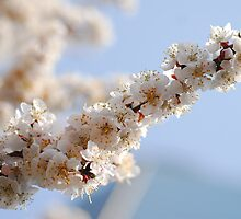 Cherry Blossoms in a Tree (3) by Christian Eccleston