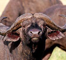 African Buffalo - (Syncerus caffer)  Ngorongoro Crater Tanzania by john  Lenagan