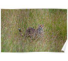 Cheetah in high grass 2 Poster