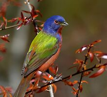 Painted Bunting - Male by Kathy Baccari