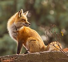 Sunset Fox by MIRCEA COSTINA