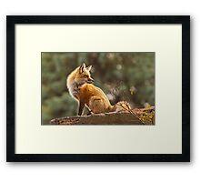 Sunset Fox Framed Print