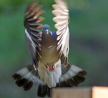 Pigeon Wings by Ian Marshall