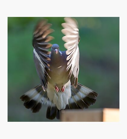 Pigeon Wings Photographic Print