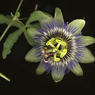 Passiflora Bloom by Barbara Wyeth