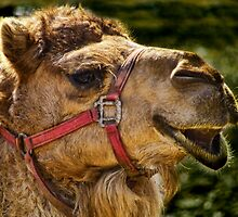 Camel Smiles by PineSinger
