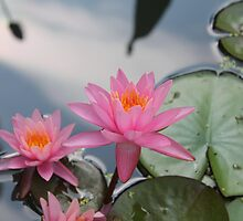 Water lilies, Kenilworth Aquatic Gardens by Kelly Morris